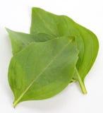 Φύλλα βασιλικού Στοκ φωτογραφία με δικαίωμα ελεύθερης χρήσης