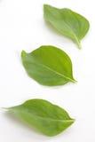 Φύλλα βασιλικού Στοκ Φωτογραφίες