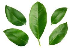 Φύλλα λεμονιών που απομονώνονται στο άσπρο υπόβαθρο Στοκ Εικόνες