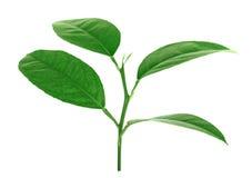 Φύλλα λεμονιών που απομονώνονται στο άσπρο υπόβαθρο Στοκ φωτογραφία με δικαίωμα ελεύθερης χρήσης