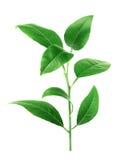 Φύλλα λεμονιών που απομονώνονται στο άσπρο υπόβαθρο Στοκ εικόνα με δικαίωμα ελεύθερης χρήσης