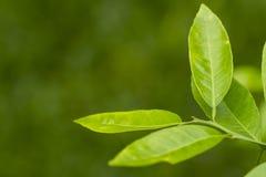 Φύλλα λεμονιών - folhas suas Limão ε Στοκ Εικόνες