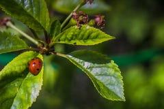 φύλλα εντόμων ανασκόπησης ladybug φυσικά Στοκ Εικόνες