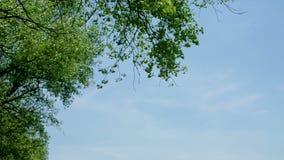 Φύλλα ενός δέντρου ενάντια στο μπλε ουρανό στη φύση απόθεμα βίντεο