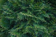 Φύλλα ενός δέντρου κυπαρισσιών Στοκ Εικόνες