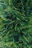 Φύλλα ενός δέντρου κυπαρισσιών Στοκ φωτογραφίες με δικαίωμα ελεύθερης χρήσης