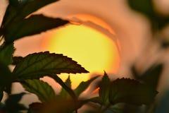 Φύλλα ενός λουλουδιού στο ηλιοβασίλεμα Στοκ φωτογραφία με δικαίωμα ελεύθερης χρήσης