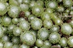 Φύλλα ενός πράσου σπιτιών ιστών αράχνης, arachnoideum Sempervivum Στοκ Εικόνες