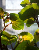 Φύλλα ενός φυτού σπιτιών σε ένα παράθυρο Στοκ Φωτογραφίες