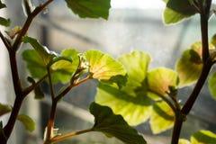 Φύλλα ενός φυτού σπιτιών σε ένα παράθυρο Στοκ Εικόνες