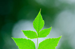 φύλλα ζωηρά Στοκ Εικόνες