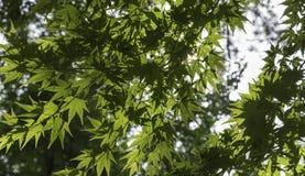 φύλλα ηλιοφώτιστα Στοκ εικόνα με δικαίωμα ελεύθερης χρήσης