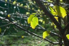 φύλλα ηλιοφώτιστα στοκ φωτογραφία με δικαίωμα ελεύθερης χρήσης