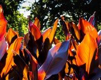 φύλλα ηλιοφώτιστα Στοκ φωτογραφίες με δικαίωμα ελεύθερης χρήσης