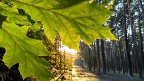 φύλλα ηλιόλουστα Στοκ Φωτογραφία