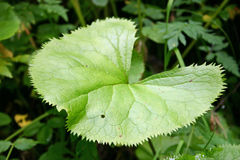 Φύλλα ινδικού Pennywort στην κοιλάδα των λουλουδιών, Uttarkhand, Ινδία Στοκ εικόνα με δικαίωμα ελεύθερης χρήσης