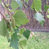 Φύλλα ιτιών Στοκ Φωτογραφία
