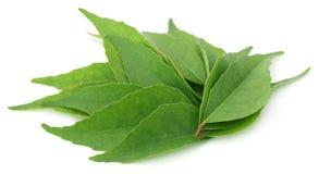 Φύλλα κάρρυ Στοκ φωτογραφία με δικαίωμα ελεύθερης χρήσης
