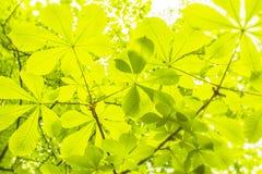 Φύλλα κάστανων στους κλάδους Στοκ Φωτογραφίες