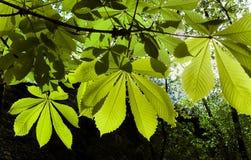 Φύλλα κάστανων στο backlight Στοκ εικόνα με δικαίωμα ελεύθερης χρήσης