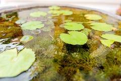 Φύλλα και άλγη Lotus Στοκ φωτογραφίες με δικαίωμα ελεύθερης χρήσης