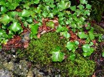 Φύλλα και βρύο κισσών στοκ φωτογραφία