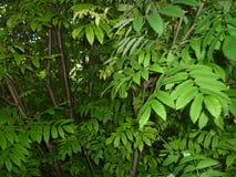 Φύλλα και κλαδίσκοι του υποβάθρου σορβιών Στοκ Εικόνες