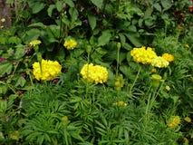 Φύλλα και μίσχοι marigold των λουλουδιών Στοκ Εικόνα