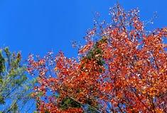 Φύλλα και ουρανός φθινοπώρου στο Βερμόντ Στοκ Φωτογραφία