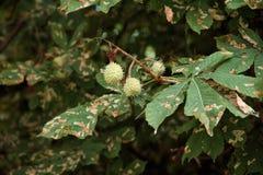 Φύλλα και σκώρος δέντρων κάστανων Στοκ φωτογραφία με δικαίωμα ελεύθερης χρήσης