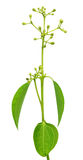 Φύλλα κανέλας με το λουλούδι Στοκ Εικόνες