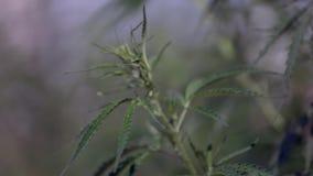 Φύλλα καννάβεων μαριχουάνα απόθεμα βίντεο