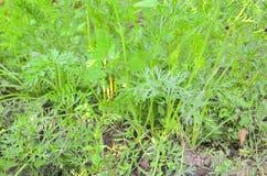 Φύλλα καρότων στοκ φωτογραφία με δικαίωμα ελεύθερης χρήσης