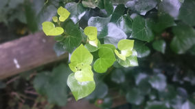 Φύλλα καρδιών Στοκ Εικόνες