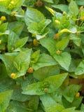 Φύλλα κινηματογραφήσεων σε πρώτο πλάνο του κάρδαμου παραγράφου ή του φυτού πονόδοντου (oleracea Acmella) Στοκ Φωτογραφία