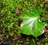 Φύλλα κισσών ενάντια στο βρύο Στοκ Εικόνες
