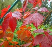Φύλλα κισσών με τις πτώσεις του νερού βροχής Στοκ Εικόνα