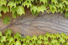 Φύλλα κισσών που αυξάνονται σε έναν τοίχο Στοκ εικόνες με δικαίωμα ελεύθερης χρήσης