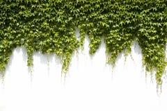 Φύλλα κισσών σε ένα άσπρο υπόβαθρο Στοκ Εικόνες
