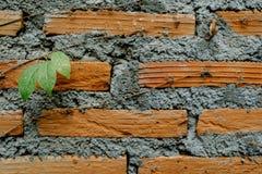 Φύλλα κισσών στον τοίχο Στοκ Εικόνα