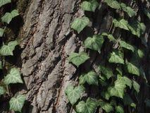 φύλλα κισσών Στοκ εικόνες με δικαίωμα ελεύθερης χρήσης