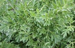 Φύλλα κοινό wormwood Στοκ Εικόνες