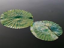 Φύλλα κρίνων νερού Στοκ Φωτογραφίες