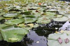 Φύλλα κρίνων στοκ φωτογραφίες