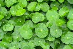 φύλλα κόλα gotu Στοκ Φωτογραφίες