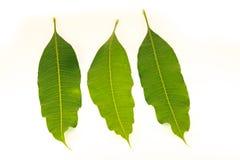 Φύλλα μάγκο που απομονώνονται στο άσπρο υπόβαθρο Στοκ Φωτογραφία