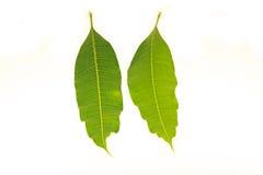 Φύλλα μάγκο που απομονώνονται στο άσπρο υπόβαθρο Στοκ εικόνες με δικαίωμα ελεύθερης χρήσης