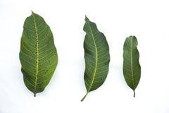 Φύλλα μάγκο που απομονώνονται στο άσπρο υπόβαθρο στοκ εικόνα με δικαίωμα ελεύθερης χρήσης