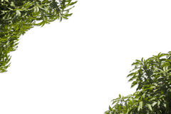 Φύλλα μάγκο σε ένα λευκό Στοκ εικόνες με δικαίωμα ελεύθερης χρήσης
