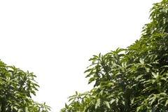 Φύλλα μάγκο σε ένα λευκό Στοκ φωτογραφία με δικαίωμα ελεύθερης χρήσης